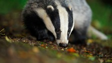 Badger baiting involves drawing a badger from its sett.