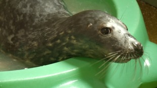 Stranded seal pups cared for in Somerset