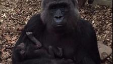 Mother Effie cradles her baby at London zoo