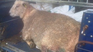 Appeal after pregnant ewe is put down after dog attack