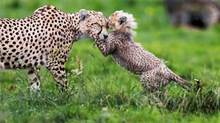 One of seven cheetah cubs born in March 2012 at Whipsnade Zoo plays with its mother Dubai