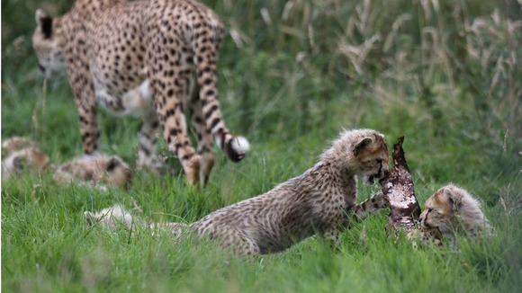 A litter of seven cheetah cubs born in March 2012 at Whipsnade Zoo