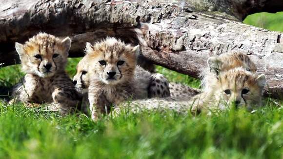 Northern cheetah cubs, from a litter of seven, born in March 2012 at Whipsnade Zoo