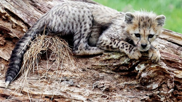 A Northern cheetah cub, from a litter of seven, born in March 2012 at Whipsnade Zoo