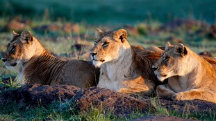 A pride of lions in Kenya's Masai Mara reserve.
