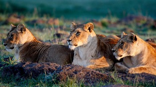 Two herdsmen charged over poisoning of pride of lions