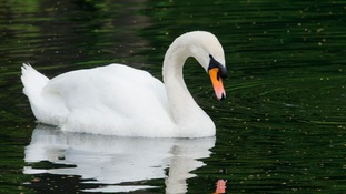 Hunt to find gunman who shot swan in the head