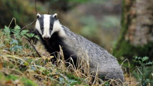 The government 'wants to see more' badger culls.