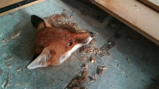 Fox head stuck