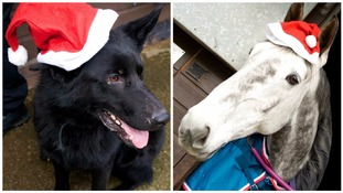 Police dogs and horses get into the festive spirit