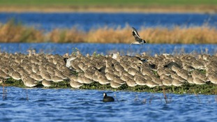 The black-tailed godwits at Welney Wetland Centre.