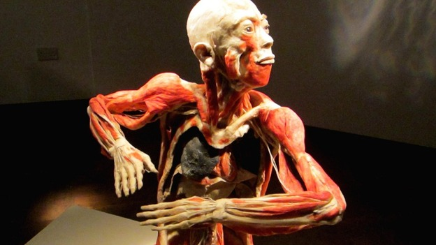 preserved human body exhibition to open in liverpool city centre, Muscles
