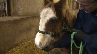 Rudolph the abandoned foal found in Christmas tree field