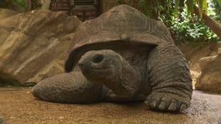 Biggie the Giant Tortoise's Big Day
