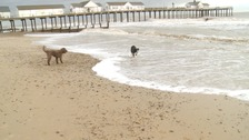 Two dogs enjoy the sea at Southwold.