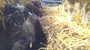 The twin lambs are being hailed a 'Christmas Miracle'