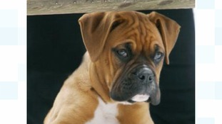 Library image of a boxer dog