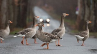 Wild geese out and about