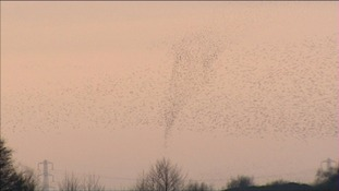 Record numbers of starling have been roosting on the Somerset Levels this Winter.