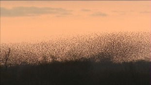 Record numbers of starlings on Somerset Levels
