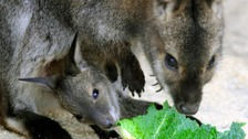These Wallabies are set to feature in the zoo's annual stock-take of animals.