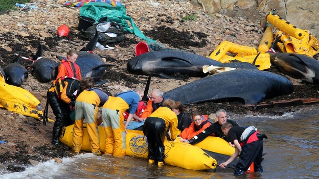 Members of the emergency services attempt to refloat a pilot whale after a pod beached near Pittenweem off the coast of Fife.