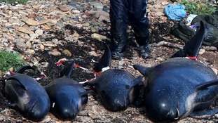 Dead pilot whales after they beached near Pittenweem off the coast of Fife.