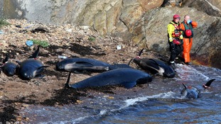Emergency Service workers stand next to dead pilot whales after they beached near Pittenweem off the coast of Fife.