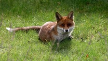 A fox has been killed during a New Year's Day hunt in Cambridgeshire