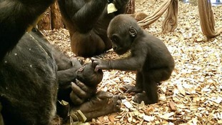Gernot the baby gorilla is stroked by his older sister.