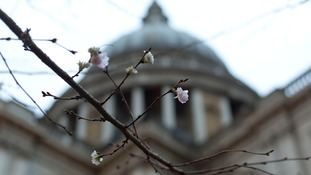 Blossoms blooming in January in St Paul's.