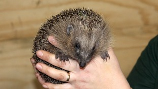 Mild weather is a wake up call for our hedgehogs