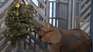 Old Christmas trees are new toys for Noah's Ark animals
