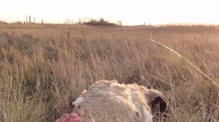 One of the sheep killed at RSPB Satlholme