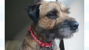 Ginny the border terrier