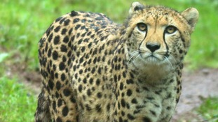 New year and new cheetah for Paignton zoo
