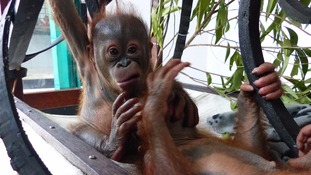 Sussex charity releases footage of rescued orangutans' first encounter