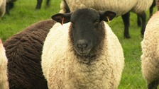 A farmer in Northamptonshire is stepping up security after five of her sheep were butchered in their fields.