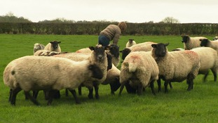 Farmer Esther Arrowsmith says the loss of her sheep in very upsetting and costly.