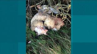 The butchered sheep
