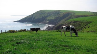 Cattle graze along the Pembrokeshire Coast Path near Manorbier