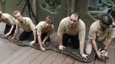 Zookeepers holding Bali the python