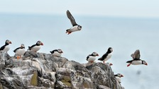 Puffins on the Farne Islands off the Northumberland