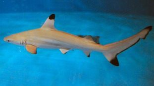 New look ocean display to house special shark pups