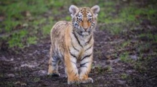 It's the first time tigers of this kind have been born at the park for 23 years.