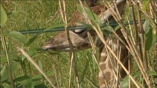 Paignton Zoo's six foot tall baby