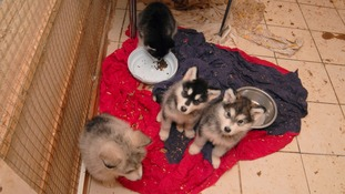 Huskies were found living in squalor