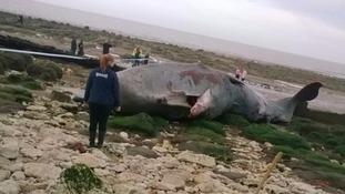 Stranded sperm whale dies despite hours-long rescue attempt