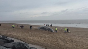Sperm whale washed ashore at Skegness