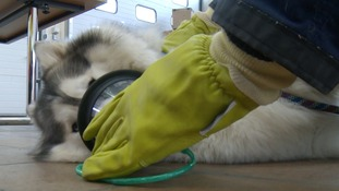 Lexi the husky modelling one of the new animal oxygen masks.